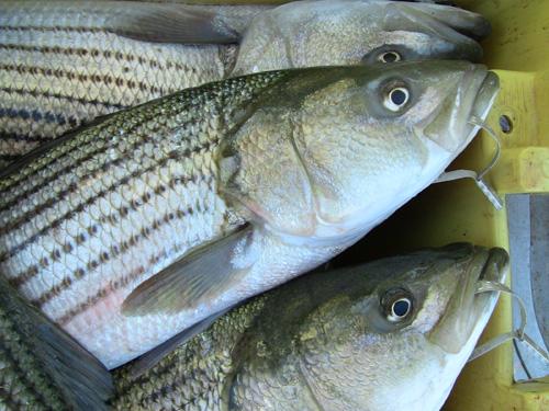 tagged striped bass